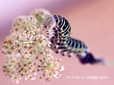 キアゲハ飼育。5齢幼虫への脱皮直後はしょうゆ顔。