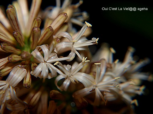 幸福の木(ドラセナ)の花満開。夜咲く一夜花。
