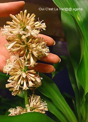 幸福の木(ドラセナ)の花満開。夜咲く一夜花はこのサイズ。