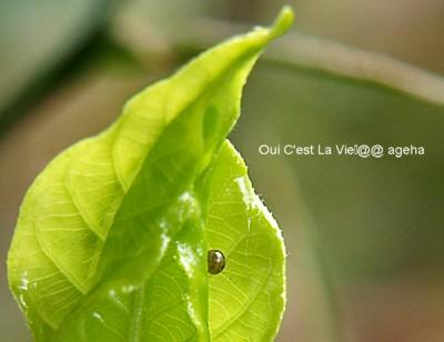 オオスカシバ。クチナシの新芽に羽化直前卵。