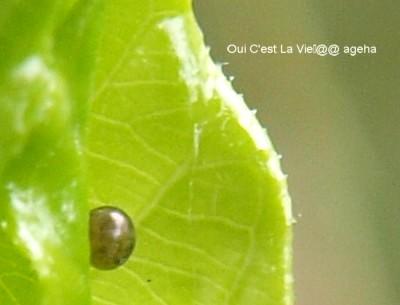 オオスカシバ。クチナシの新芽に羽化直前卵。目みたいね。