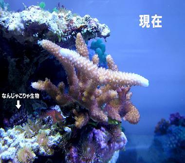 サンゴ成長1のコピー2.jpg