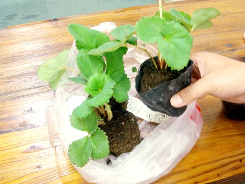 室内温室でイチゴのハイポニカ栽培(水耕栽培)
