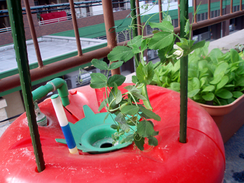 スナップエンドウのハイポニカ栽培(水耕栽培)