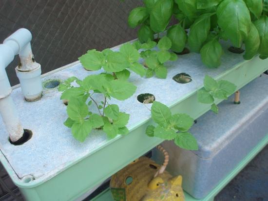 大葉(しそ)の水耕栽培(ハイポニカ栽培)