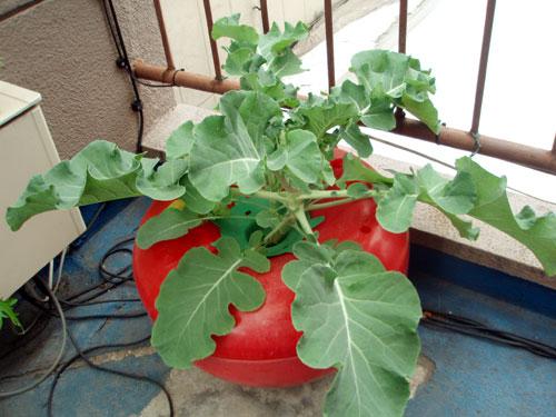 ブロッコリーのハイポニカ栽培(水耕栽培)