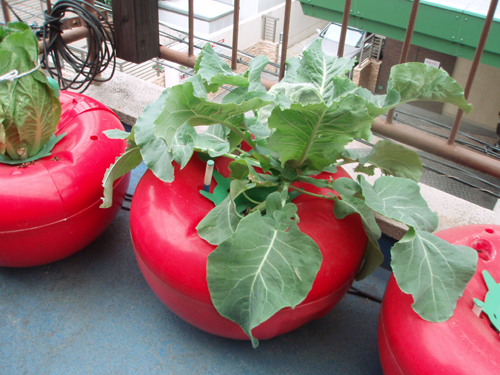 カリフラワーのハイポニカ栽培(水耕栽培)