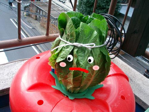 白菜のハイポニカ栽培(水耕栽培)