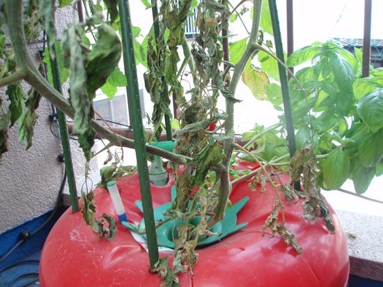 ミニトマトのハイポニカ栽培(水耕栽培)