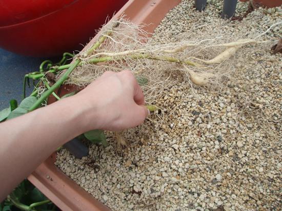 養液栽培でおいも栽培