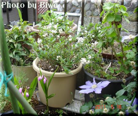 110516-うの花