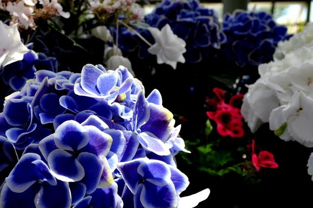 20100509紫陽花