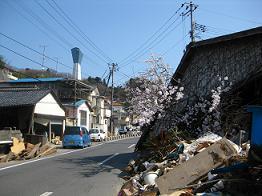 桜さく1.JPG