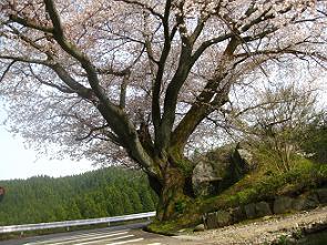 一本桜2.JPG