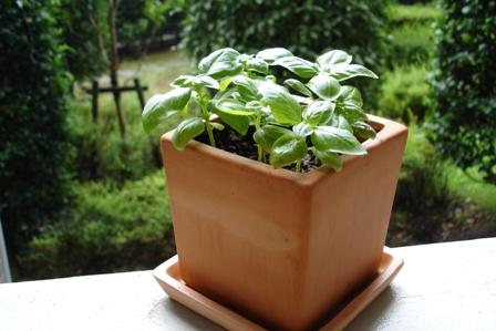 バジルの鉢植