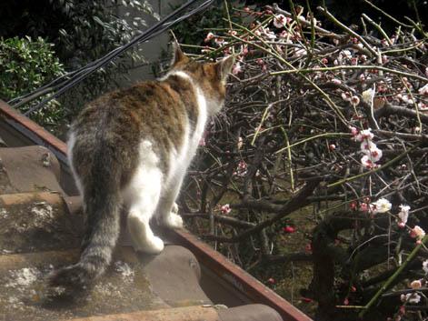猫の梅見・1