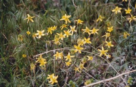 カッパドキア・hipericum olympicumの花