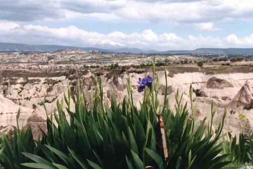カzツパドキア・tall bearded irisの花