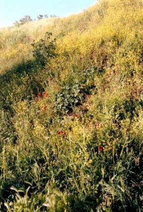 トロイ・菜の花