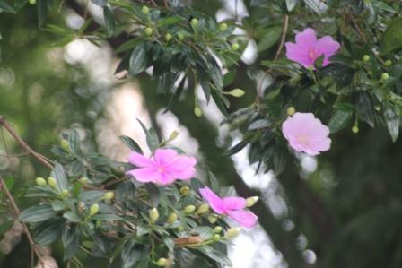 ブラジル野ボタン(quaresmeire rosa)