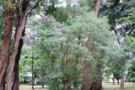 イビラブエラ公園に咲くブラジル野ボタン