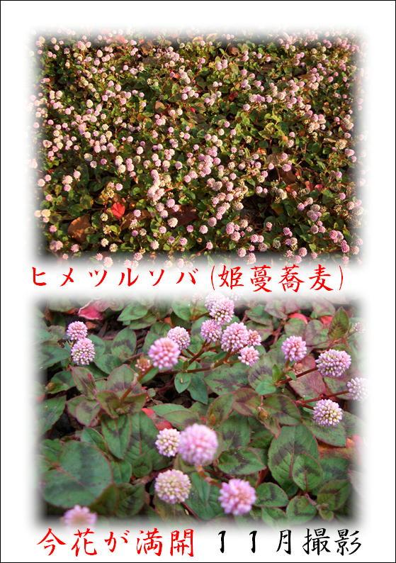 姫蔓蕎麦(ヒメツルソバ)