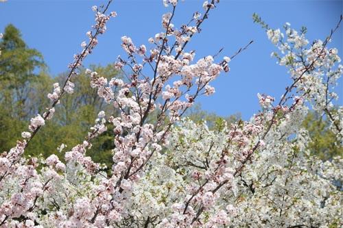 薄墨桜と大島桜