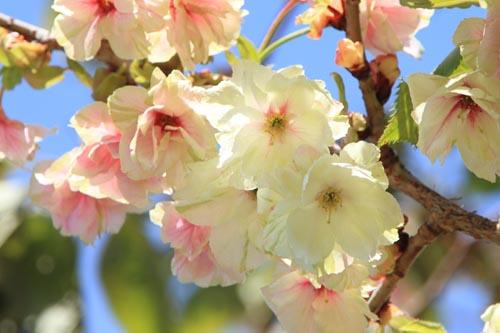 桜のアップ2