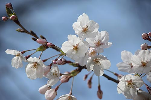 桜アップ02