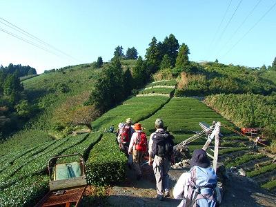 満観峰下の茶畑