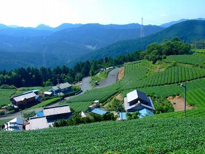 和泉平の茶畑