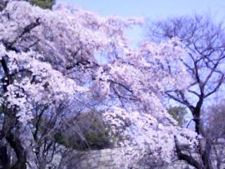 大阪城公園枝垂桜