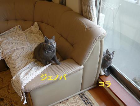 ジェノベ&コラ