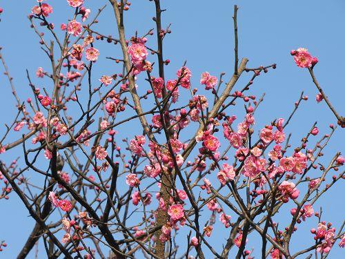 高岡古城公園の梅