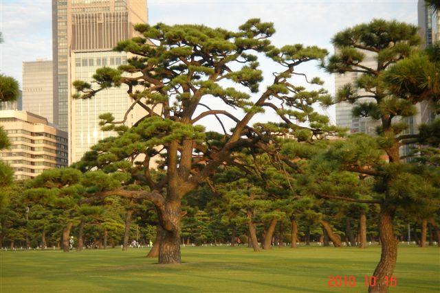皇居松1.JPG