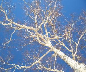 CIMG5517.白い木と青空JPG.JPG
