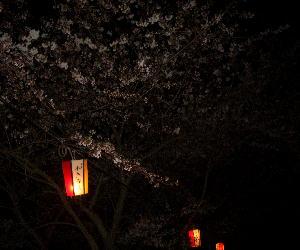 CIMG3888.ぼんぼりと夜桜JPG.JPG