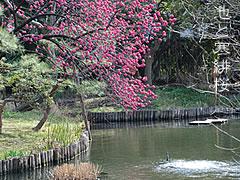 池と寒緋桜.jpg