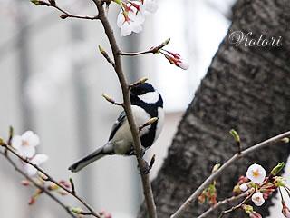 桜の枝に止まる小鳥.jpg