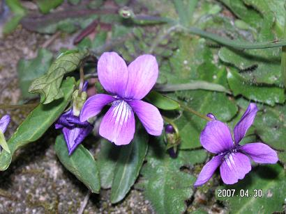 すみれ-濃い紫色ーR.JPG