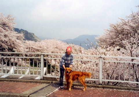 2011_0419りゅう 山北の桜1(1998.4.8).jpg