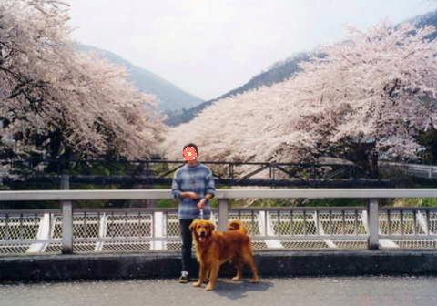 2011_0419りゅう 山北の桜2(1998.4.8).jpg
