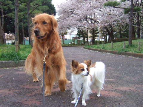 2011_0419りゅう(2007.4.6)さくら1.jpg