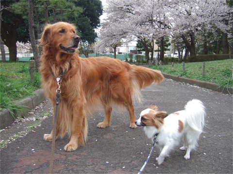 2011_0419りゅう(2007.4.6)さくら2.jpg