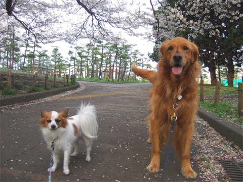 2011_0419りゅう(2007.4.6)さくら4.jpg