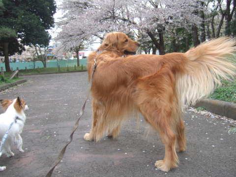 2011_0419りゅう(2007.4.6)さくら3.jpg