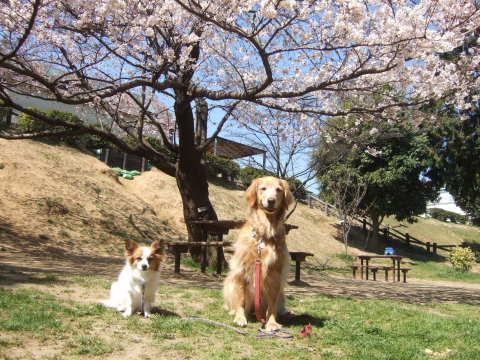 2011_0419桜 3(2011.4.6).jpg