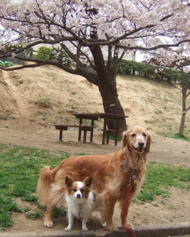 2011_0419桜 6(2011.4.8).jpg