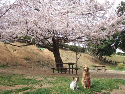 2011_0419桜 7(2011.4.10).jpg