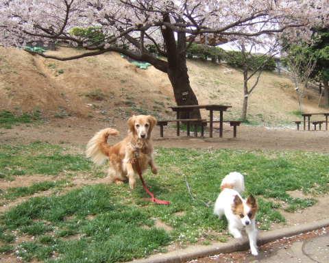 2011_0419桜 9(2011.4.10).jpg
